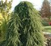 Weeping Deodara Cedar