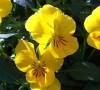 Yellow Cool Wave Pansy Picture