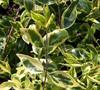 Lemons And Lime Abelia