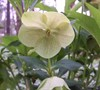 Royal Heritage Lenten Rose