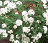 Reeve's Spirea