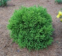 Global Dwarf Cryptomeria Picture