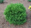 Global Dwarf Cryptomeria