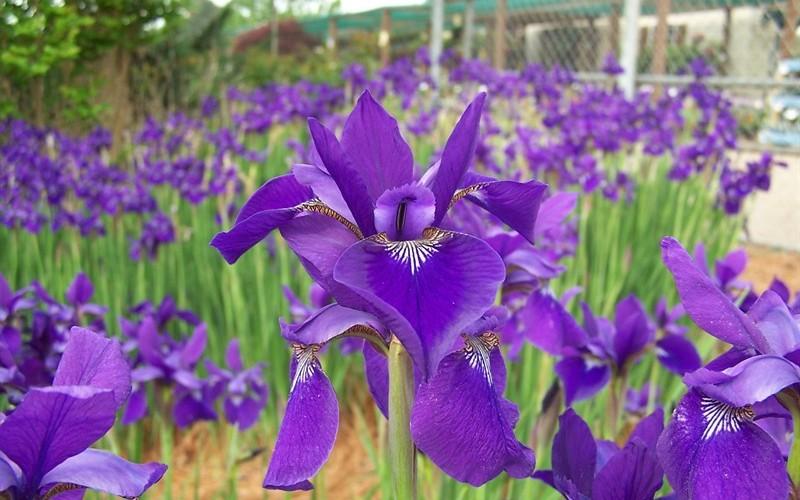 Caesars Brother Iris