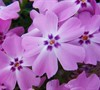 Red Wings Creeping Phlox