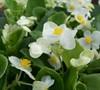 Prelude White Wax Begonia