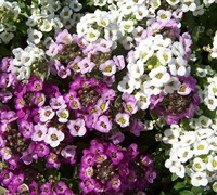 Easter Basket Mix Sweet Alyssum Picture