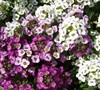 Easter Basket Mix Sweet Alyssum