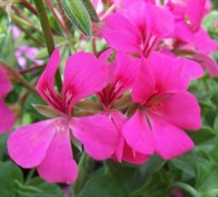 Rose Ivy Geranium Picture
