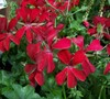 Red Ivy Geranium