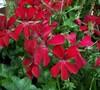 Red Ivy Geranium