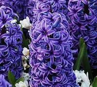 Hyacinthus Orientalis Picture