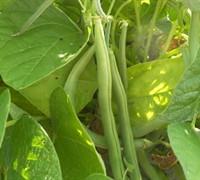 Haricot Vert 'Maxibel' Bush Bean Picture