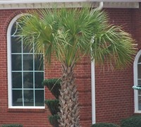 Cabbage Palm Picture