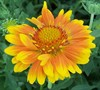 Oranges And Lemons Gaillardia