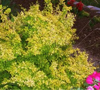 Golden Barberry Picture