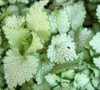 White Nancy Lamium