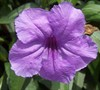 Purple Showers Mexican Petunia