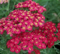 Paprika Yarrow Picture