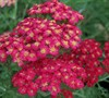 Paprika Yarrow
