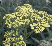 Moonshine Yarrow Picture