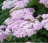 Oertel's Rose Yarrow