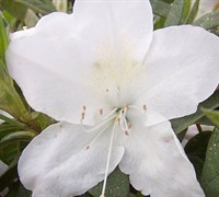 Mrs. G. G. Gerbing Azalea Picture