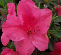 Autumn Carnival Encore Azalea Picture