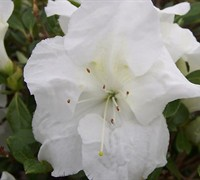 Autumn Angel Encore Azalea Picture