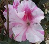 Autumn Twist Encore Azalea Picture