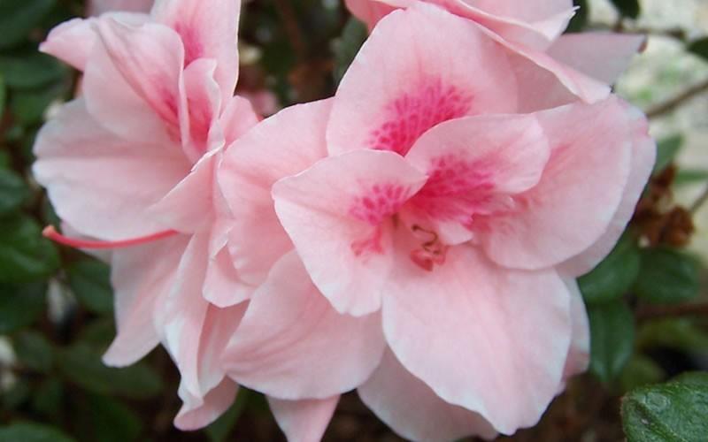 Autumn Belle Encore Azalea Picture