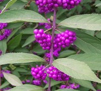 Issai Purple Beautyberry  Picture