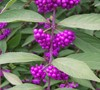 Issai Purple Beautyberry