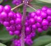 Issai Purple Beautyberry