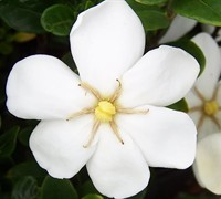 Daisy Gardenia Picture