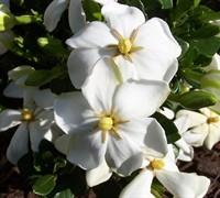 Daisy Gardenia Picture