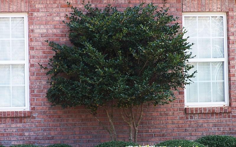 Wavy Leaf Ligustrum Picture