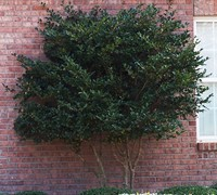 Wavy Leaf Ligustrum Picture