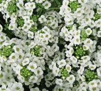 Sweet Alyssum Picture