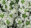 Sweet Alyssum