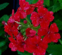 Homestead Red Verbena Picture