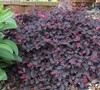 Purple Pixie Loropetalum