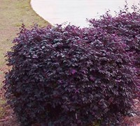 Purple Diamond Loropetalum Picture