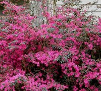 Plum Delight Loropetalum Picture