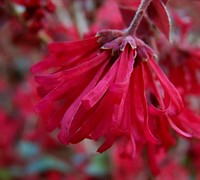 Ever Red Sunset Loropetalum Picture