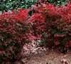 Gulf Stream Nandina