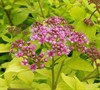 Gold Mound Spirea Picture