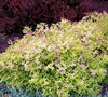 Gold Mound Spirea
