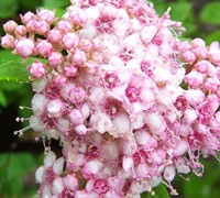 Little Princess Spirea Picture