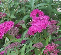 Anthony Waterer Spirea Picture